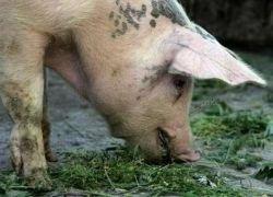 Свиному гриппу повысили уровень пандемической угрозы