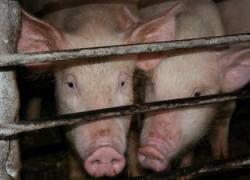 Рассадником гриппа в Мексике стал навоз на свиноферме