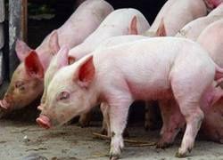 Эксперты ООН разберутся с мексиканскими свинофермами