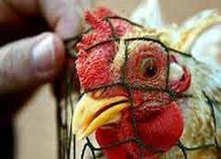Птичий грипп больше не опасен для человека