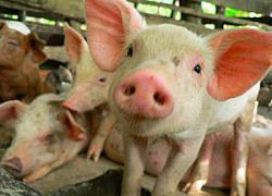 Свиной грипп добрался до Германии