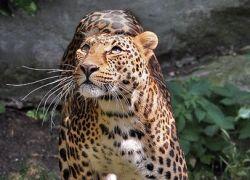 В Читинский зоопарк неизвестные подбросили леопарда