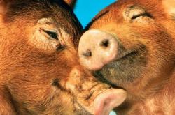 Свиньи заразились свиным гриппом в Канаде