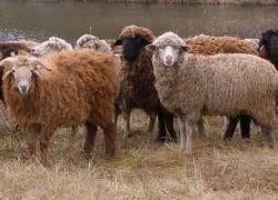 Донорские органы для людей вырастят в овцах