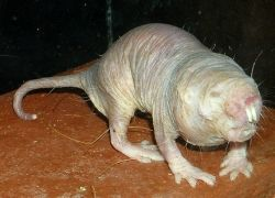 фото мутанта крысы
