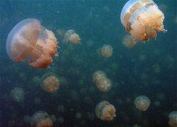 Ученые предсказывают массовое распространение медуз