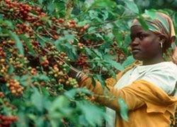 Мировые запасы кофе упадут до 30-летнего минимума