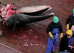 Австралия и Новая Зеландия отучат японцев убивать китов