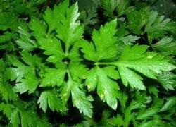 Петрушка, укроп, лук: ваши зеленые лекари