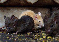"""Или крысы, или \""""Боржоми\"""": так чем занят Онищенко"""