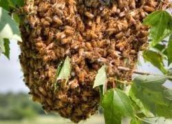 Пчелиный рой - сам себе термостат