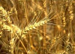 Засуха лишила Россию надежд на рекордный импорт зерна