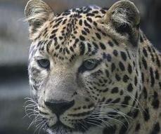 Земли леопардов под экологической угрозой