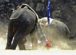 Слониху, убившую 7 человек, превратят в боевое животное