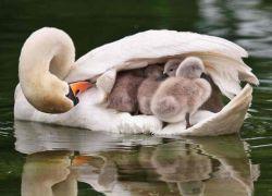 Лебеди - самые заботливые родители