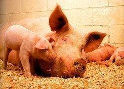 Украина запретила ввоз живых свиней из РФ и Закавказья
