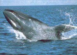 В Исландии спасен голубой кит