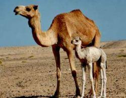 Австралия потратит $16 млн на отстрел верблюдов