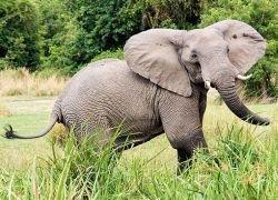 Слоны – единственные животные, не умеющие прыгать