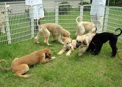 Щенков первого клонированного пса отдают в хорошие руки