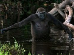 сношение гориллы с женщиной