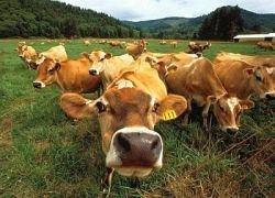 Другой рацион коров сократит выбросы парниковых газов