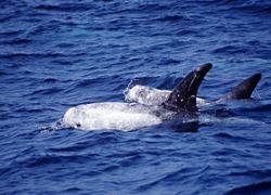 В Великобритании сфотографировали редкого дельфина