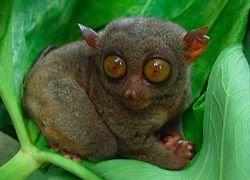 На Мадагаскаре истребляют лемуров