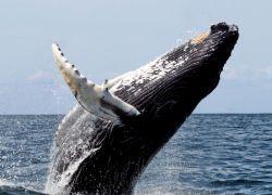 США перестанут охранять горбатых китов