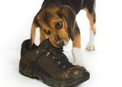 Почему собаки грызут обувь, и как с этим бороться?
