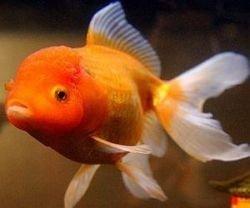 Жена отомстила мужу, съев золотых рыбок
