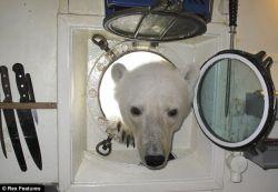 Белый медведь в гостях у туристов на Шпицбергене