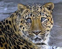 Дальневосточного леопарда не спасут никогда
