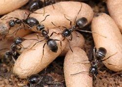 Раскрыт секрет эволюции общественных насекомых