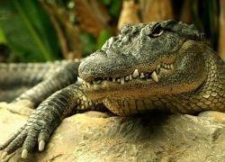 Аллигаторы сохраняют верность партнеру