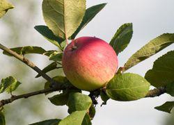 Урожай яблок в этом году стал сущим наказанием