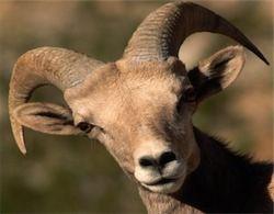В Пермском крае открыли штрафстоянку для коз