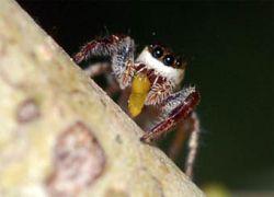 Ученые обнаружили паука-вегетарианца