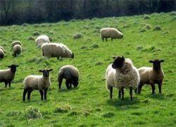 В Казахстане начали выдавать кредиты овцами