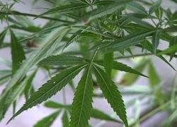 Американка сообщила в полицию о похищении марихуаны