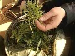 Госнаркоконтроль пересчитал плантации конопли в России
