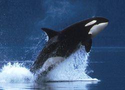 У берегов Шотландии замечена большая стая китов-убийц