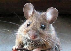Исследователи научили мышей играть в Quake