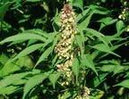 В Уэльсе найдена крупнейшая плантация конопли