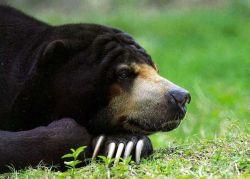 Ученые доказали, что медведи вовсе не любят мед