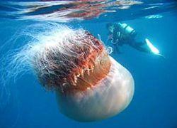Японские рыбаки находят в сетях гигантских медуз