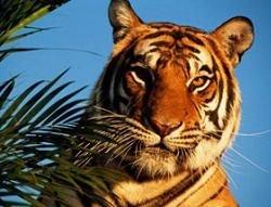 Тигры находятся под угрозой полного истребления