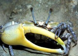 Биологи заставят крабов носить мягкие панцири