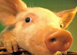 Ученые расшифровали геном свиньи
