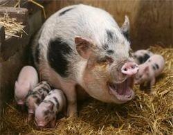 Подмосковным свиньям грозит эпидемия африканской чумы